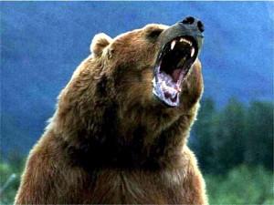 grey bear is roaring